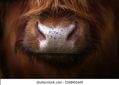 an Aberdeen angus Highland Cow up close