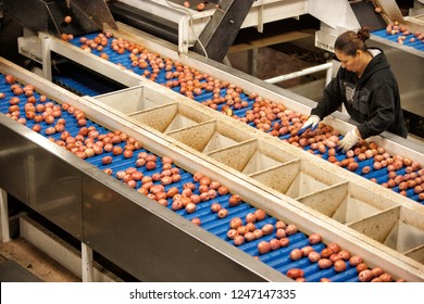 Aberdeen, Idaho, USA Apr. 30, 2011 Image of a conveyor belt in a food processing facility, and workers sorting red potatoes.