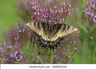 aberrant eastern tiger swallowtail butterfly papilio glaucus female on blue vervain flower native prairie plant