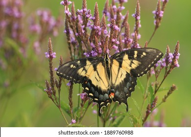 aberrant female tiger swallowtail butterfly papilio glaucus on blue vervain