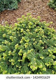 Abies balsamea with young growth
