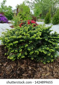 Abies balsamea with young growth on the background of purple and red rhododendrons
