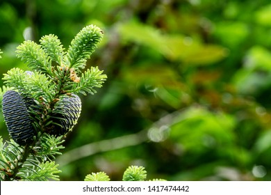 Abies Korea fir branch with young blue lumps and with green spruce needles on blurred background of green garden. Selective focus. Nature concept for design. There is place for text.