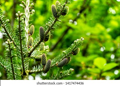 Abies koreana fir branch with young greenish cones and green and silver spruce needles against blurred background of green garden. Close-up. Selective focus. Nature concept for design
