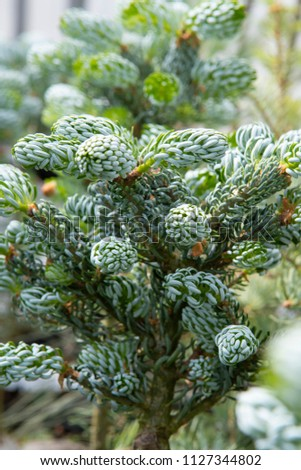 Abies Koreana Kohouts Icebreaker Stock Photo Edit Now 1127344802