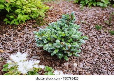 Abies koreana Kohouts Icebreaker, new dwarf cultivar of Korean fir with silvery curvy needles