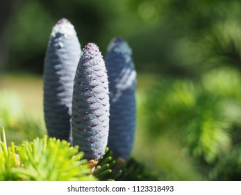 Abies pindrow var. brevifolia pine