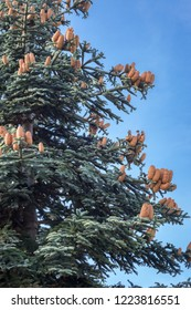 Abies procera (Nobilis fir) with large cones in autumn