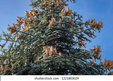 Abies procera (noble fir) with cones and a blue sky as background
