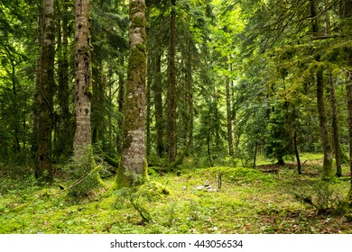 Abkhazia, a forest in the gorge