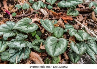Abkhazian Cyclamen (Cyclamen abchasicum) in forest, Abkhazia