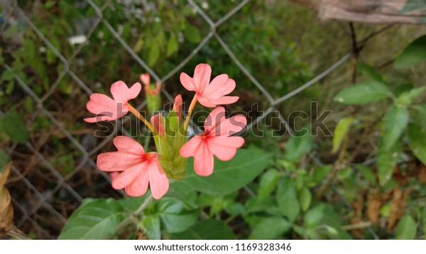 Aboli Flower Garden India Growing Stage Stock Photo (Edit