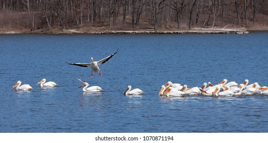 As it is about to crash land into a swimming flock of pelican, a flying pelican tries to change course. One wading bird, with its beak wide open, screams warning at the misadventurous pelican.