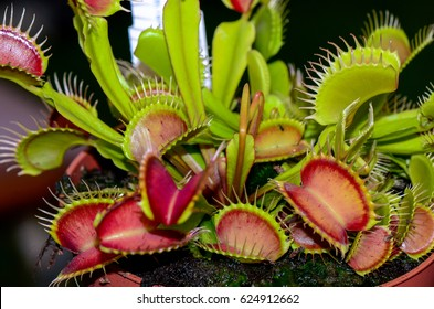 About a dozen venus fly traps open and awaiting insects for lunch