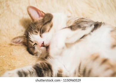 From above of adult adorable furry soft cat sleeping on soft beige carpet lying on back