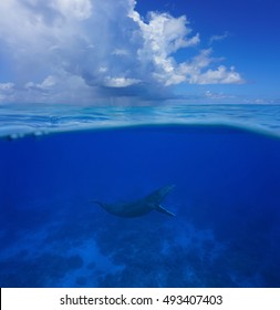 Above and below sea surface, a humpback whale underwater with cloudy blue sky split by waterline, Pacific ocean, Rurutu island, Austral archipelago, French Polynesia