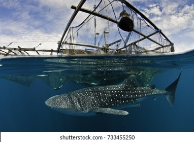 Above and below shot of a whale shark swimming under a floating fishing platform, Cenderawasih Bay, West Papua, Indonesia.