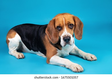 From above Portrait of a adorable beagle lying donw and looking at the camera on a blue background