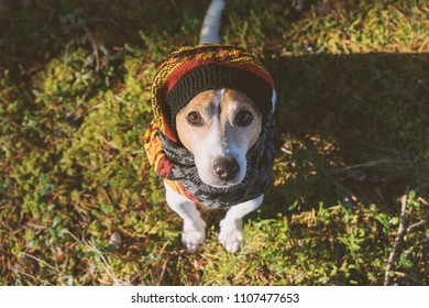 Above portrait of cute jack russell dog wearing in knitted beret and scarf sitting on green moss background, looking at camera. Season change and care of dog health in the cold season walking concept