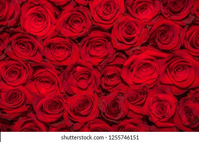 Above view of beautiful dozens of blossoming red roses
