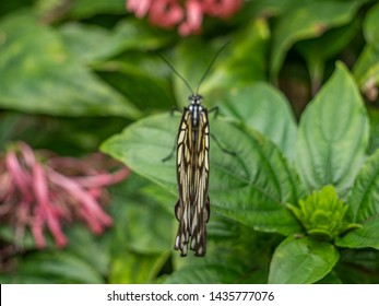 7702615c9 Above view of a butterfly with its wings closed resting on a green leaf.  Legs