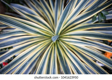 From Above View of the Cordyline Australis 'Torbay Dazzler' Plant Heavily Striped with Creamy-White