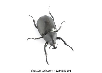 Above view of Elephant beetle isolated on white background.