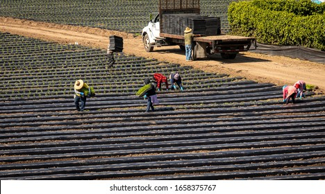 Above view of farm workers in colorful clothes planting seedlings in a strawberry field covered in plastic mulch on a sunny day with truck in background