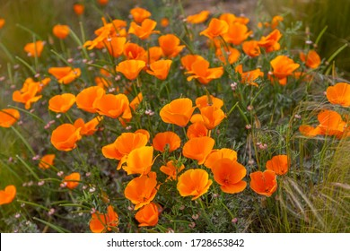 An above view of a field of orange California poppies. Eschscholzia californica.