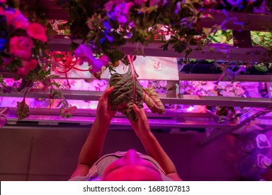 Above view of woman touching wet leaf while pinching plants in hothouse with LED illumination