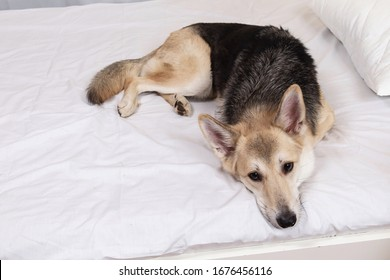 From above view at young shepherd dog having a relaxing siesta on bed with white sheet