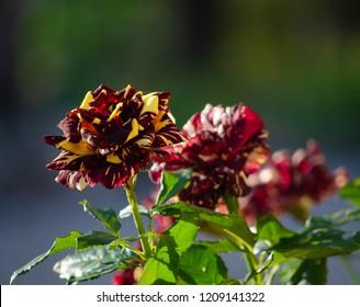 Abracadabra rose in outdoor garden