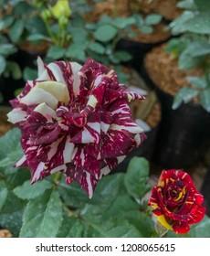 Abracadabra roses in the garden
