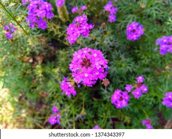 Abronia villosa is a species of sand-verbena known by the common names desert sand-verbena and chaparral sand-verbena. It is in the four o'clock plant family.