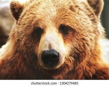 Abruzzo,Italia,2019:Bear in the National Park Of Abruzzo in Italy