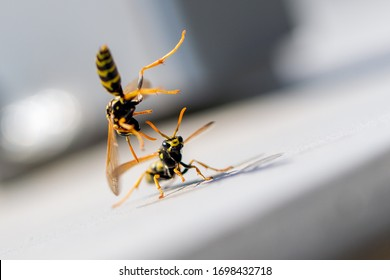 Absolutely brilliant closeup of a European wasp