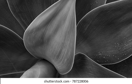 abstract agave black and white