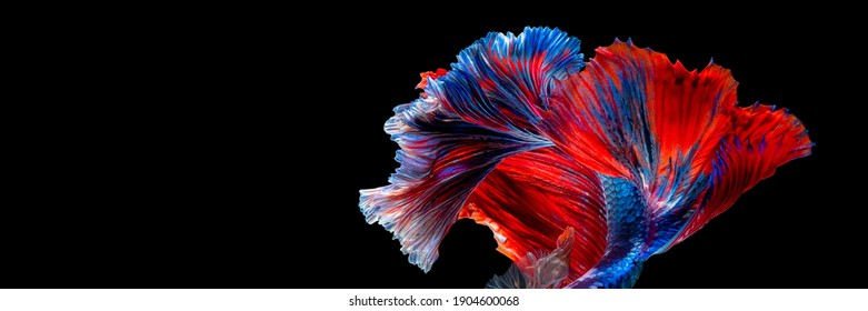 Abstract art movement of Betta fish or Siamese fighting fish tail on black background with copy space.