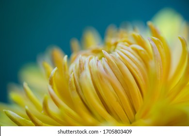 Abstract artistic closeup of yellow flower chrysanthemum with green teal background