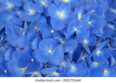 Abstract bacground of nice blue hydrangea petals