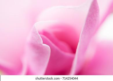 Abstract background closeup macro of pink magnolia flower petals
