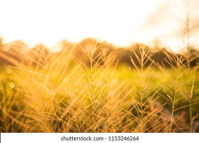 Abstract background of field and plant at sunset in the evening