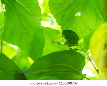Abstract Background of Fresh Big Mulberry Leaves or Morus on Tree Used to Make Tea.