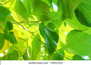 Abstract Background of Fresh Big Mulberry Leaves or Morus on Tree Used to Make Tea and Ingredient for A Delicious and Healthy Meal.