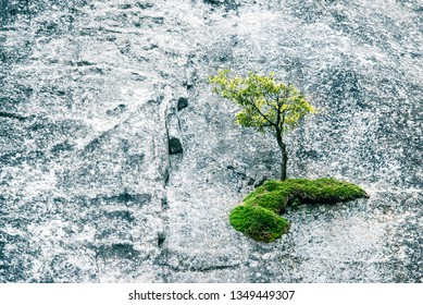 Abstract background - fresh green tree detail in grey nature. Sturdy tree climber climbs steep granite rock wall in Yosemite Valley National Park. Happy Earth Day, ecology, clean environment concepts.