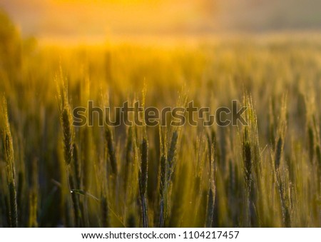 Abstract background with golden wheat ears in the sun