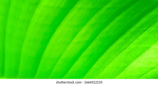 abstract background of green leaves in closeup or macro has detail and structure of vein or cell is way on texture of leaf fresh with bright light at foliage. pattern detail structure on leaf