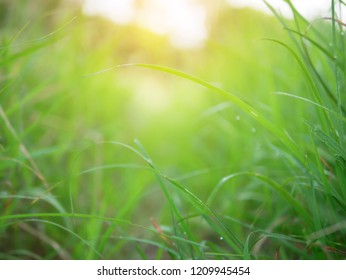 Abstract  background of green nature and blurred with sunray effect. Grass filed and sunrise in the morning with blur vission