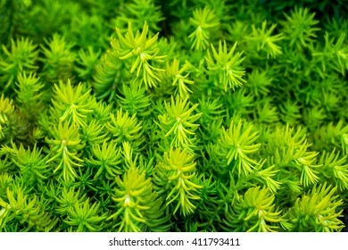Abstract background green prickly branches of coniferous tree - Araucaria