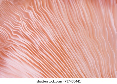 abstract background macro close up of Pleurotus djamor is beautiful mushrooms color pink